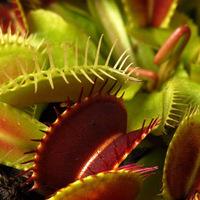 100PCS Potted Insectivorous Plant Seeds Dionaea Muscipula Giant Clip Venus Flytrap Seeds