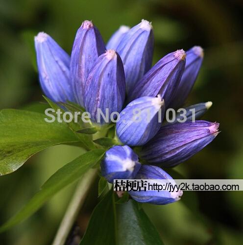 Hot selling 10pcs Gentian flower seeds bonsai seeds DIY home garden free shipping(China (Mainland))