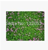 Ornamental turf grasses,-luck grass-clover seed, 100pcs