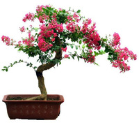 100+ SEEDS Chinese Crape Myrtle Lagerstroemia indica Tree Seeds bonsai flower Seeds * Free shipping