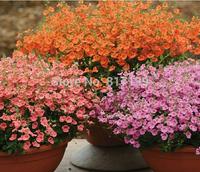Diy Home Garden Plant 100 Seeds DIASCIA APRICOT QUEEN / PERENNIAL / CONTAINERS, GARDEN OR HANGING BASKETS Free Shipping