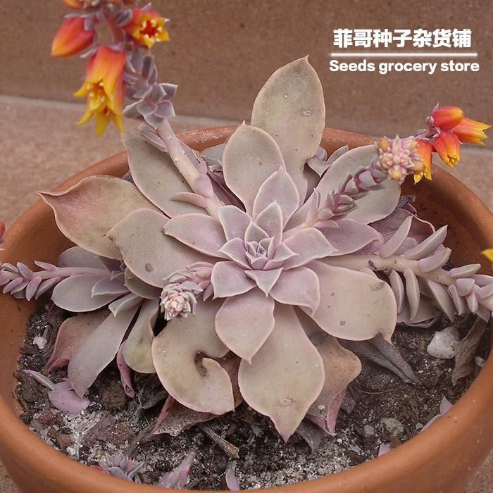 Echeveria Laui Seeds 50 Seeds/pack Echeveria