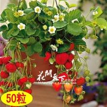 50 seeds / pack quatro estações de morango em vasos sementes perene resultados varanda sementes de flores 50 sementes de frutas e legumes(China (Mainland))