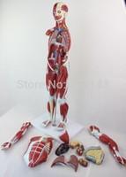 Human musle body , Muscular figure model