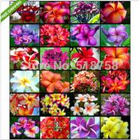 "50 SEEDS - 100% Genuine Fresh ""Mixed"" Plumeria Rubra Egg Flower Tree Seeds * Free Shipping"