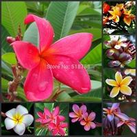 "20 SEEDS - 100% Genuine Fresh ""Mixed"" Plumeria Rubra Egg Flower Tree Seeds * Free Shipping (PR0019)"