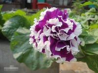 200 SEEDS - 100% Genuine Fresh Petunia Seeds - Bonsai Flower Plant Seeds * Free Shipping (P20044)