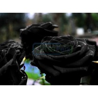 40 Pieces Black Rose Seeds Black Petal Plants Home Garden Flowers Bonsai Free Shipping