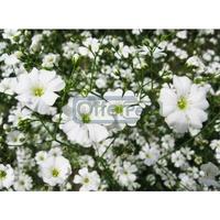 50 Pieces Starry Seeds White Petal Plants Home Garden Flowers Bonsai drop free shipping
