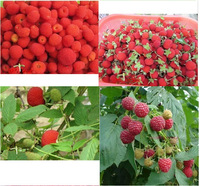 Hot selling 100pcs Raspberry seeds bonsai plant fruit seed DIY home garden free shipping