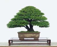 Hot selling 50pcs Japanese pine tree seeds, Pinus thunbergii seeds, bonsai seeds DIY home garden free shipping