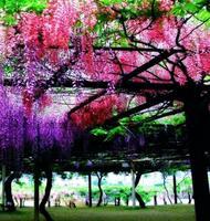 100 seeds/bag Flower pots planters red creepers Wisteria seeds Climb rattan flower seeds Bonsai plants Seeds for home & garden