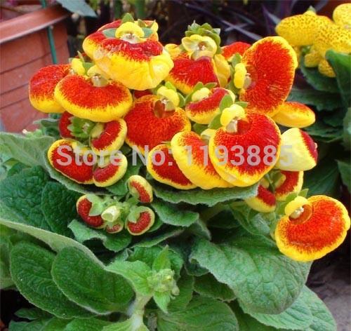 Карликовое дерево China seeds PuBao 60PCS/, Slipperwort skgs YTHG56T карликовое дерево china seeds pubao 60pcs slipperwort skgs ythg56t