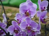 Bonsai balcony flower butterfly orchid seeds DIY home garden light purple 1 pack 10 seeds #