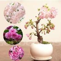 Mini Potted , 30 Pcs Bonsai Japanese Sakura Seeds , Beautiful Pink Flower Seeds