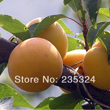 10BIG ALMOND SEEDS PRUNUS ARMENIACA L APRICOT TREE FRUIT SEEDS HOME GARDEN BACKYARD BONSAI PRECIOUS HEIRLOOM FREE SHIPPING(China (Mainland))