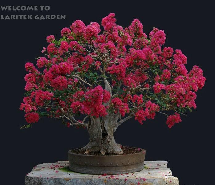 Карликовое дерево China seeds 50 /* WER45 карликовое дерево china seeds pubao 60pcs slipperwort skgs ythg56t