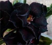 "10 SEEDS - 100% Genuine Fresh Rare ""Black Swamp"" Adenium Obesum Seeds - Bonsai Desert Rose Flower Plant Seeds * Free Shipping"