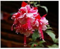 freeshipping 20pcs Fuchsia seeds bonsai lantern flower fuchsia