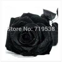100 Seeds China Rare Black Rose Flower