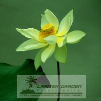 1 Professional Pack, 1 seeds / pack, Dancing Queen Yellow Lotus Nelumbo Nucifera DIY #A00143