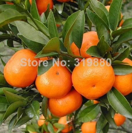 Bonsai oranje zaden china klimmen oranje boom zaden gratis verzending