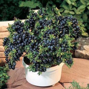 Verduras y frutas de semillas BlueBerry negro perla arándanos DIY Countyard plantas Bonsai semillas para home & garden 100 semillas(China (Mainland))