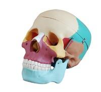 Free shipping Color natural skull model skull specimens of special medical training