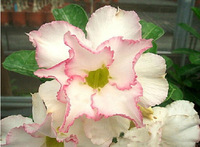 Real White Adenium obesum Seeds Taiwan DoubleDesert Rose Seed Lined Rose seeds 5pcs Free Shipping
