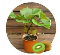 Free shipping, Thailand Mini Kiwi Fruit Bonsai Plants, Delicious Kiwi Small Fruit Trees Seed 100 Piece