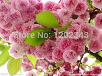 Hot selling 20pcs sakura seeds bonsai flower easy to plant DIY home garden free shipping(China (Mainland))