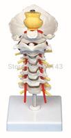 cervcal vertebrae occipital bone with spinal cord model