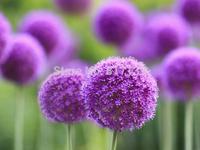 Diy Home Garden 100 Seeds Giant Allium Globemaster Allium Giganteum Flower Seeds Free Shipping