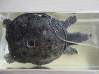 "Wet Specimen ""Turtle"""