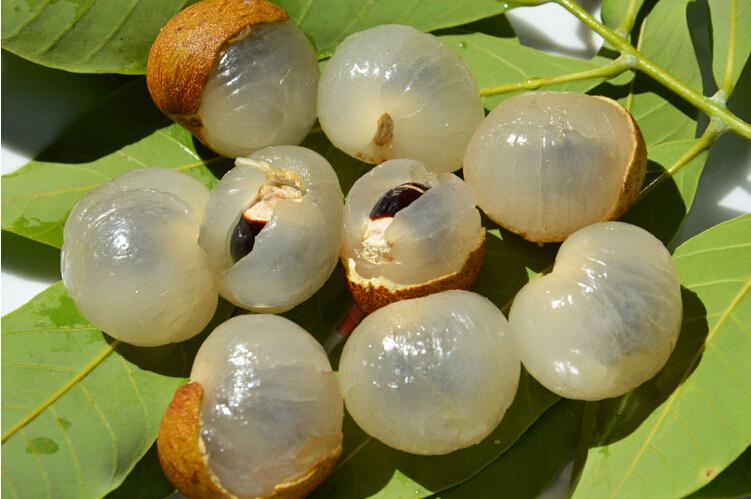 longan seed orchard farmers lose baoxin Yixue 5 seeds / bag(China (Mainland))
