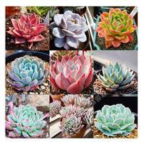 40PCS MIX LITHOPS LIVING STONES Seeds Sedum L. potted plants colorful obconica succulents fleshy meaty plant seed