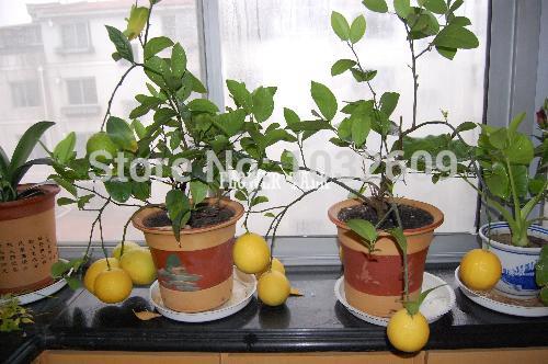 30 Seeds Of Lemon High Vitamin C Bonsai Fruit Seeds