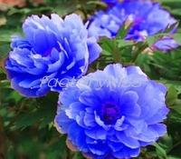 Free Shipping 20pcs x Chinese Rare Blue Peony Flower Seeds Garden Home Organic Plants bonsai seeds [5 4003-780]