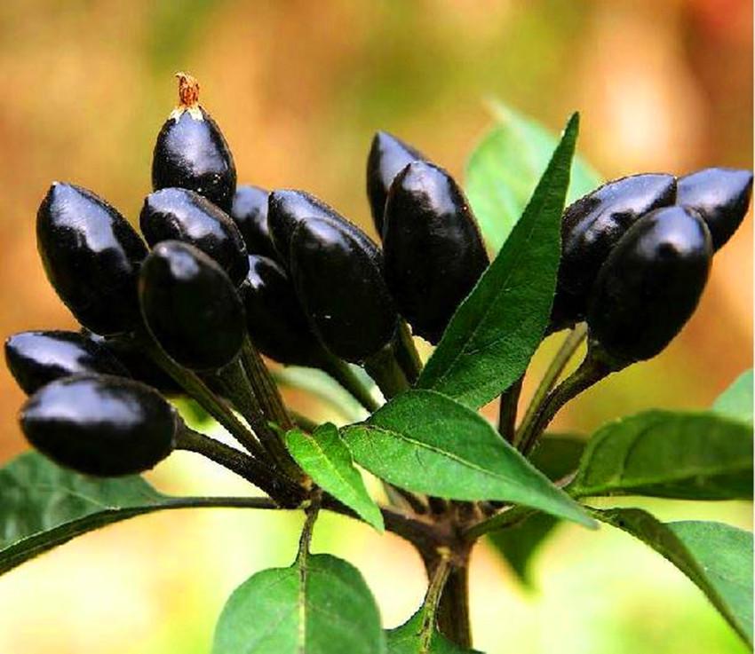 Black Pepper Seed Seeds Plants Black Pepper