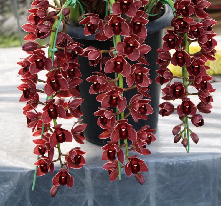 купить Карликовое дерево Flower seeds princess 150 semente GH57j недорого