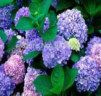 50 pcs Free shipping Flower seeds purple Hydrangea evergreen woody flowering long Hydrangea