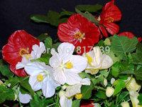 New Home Garden Plant 20 Seeds Abutilon Hybridum Bellvue Mix Flower Seeds Free Shipping
