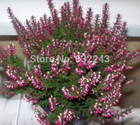 DIY Home Garden Plant 10 Seeds Heather Calluna Vulgaris Flower Seeds Free Shipping