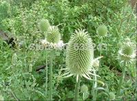 DIY Home Garden Plant 20 Seeds Teasel Dipsacus Sativus Flower Seeds Free Shipping