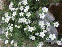 DIY Home Garden Plant 20 Seeds Arenaria Montana Gound Cover Flower Seeds Free Shipping