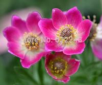 DIY Home Garden Plant 5 Seeds Anemone Multifida Rubra Flower Seeds Free Shipping