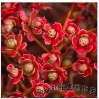 20PCS Aeonium spathulatum Sedum potted plants colorful obconica succulents fleshy meaty plant seed