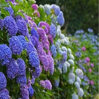 Free shipping Flower seeds purple Hydrangea evergreen woody flowering long Hydrangea