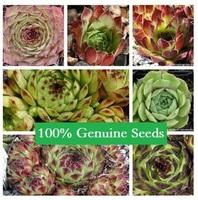 60PCS MIX Mis Sempervivum tectorum potted plants colorful obconica succulents fleshy meaty plant seed