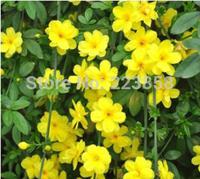 (50 pieces/lot),winter jasmine seeds,Jasminum nudiflorum,Balcony potted,seasons planting